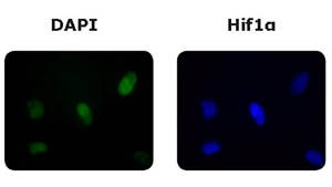 Merck:/Freestyle/BI-Bioscience/Cell-Culture/cellASIC/cellasic-application-dapi-hif1a.jpg