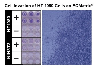 HT-1080 Cell Invasion is determined by Cell Invasion Assay.