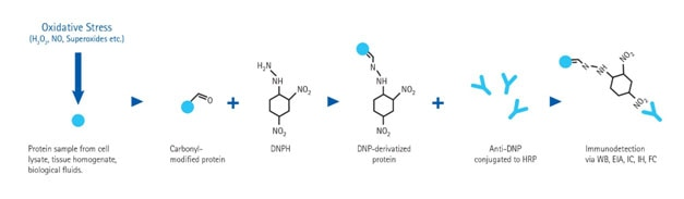 Oxidative Stress, Carbonyl Modification Detection