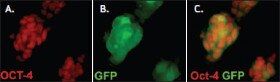 Mouse ES cells with a GFP reporter