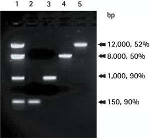 Gel analysis and quantification of DNA frag-ments isolated with the SpinPrep Gel DNA Kit