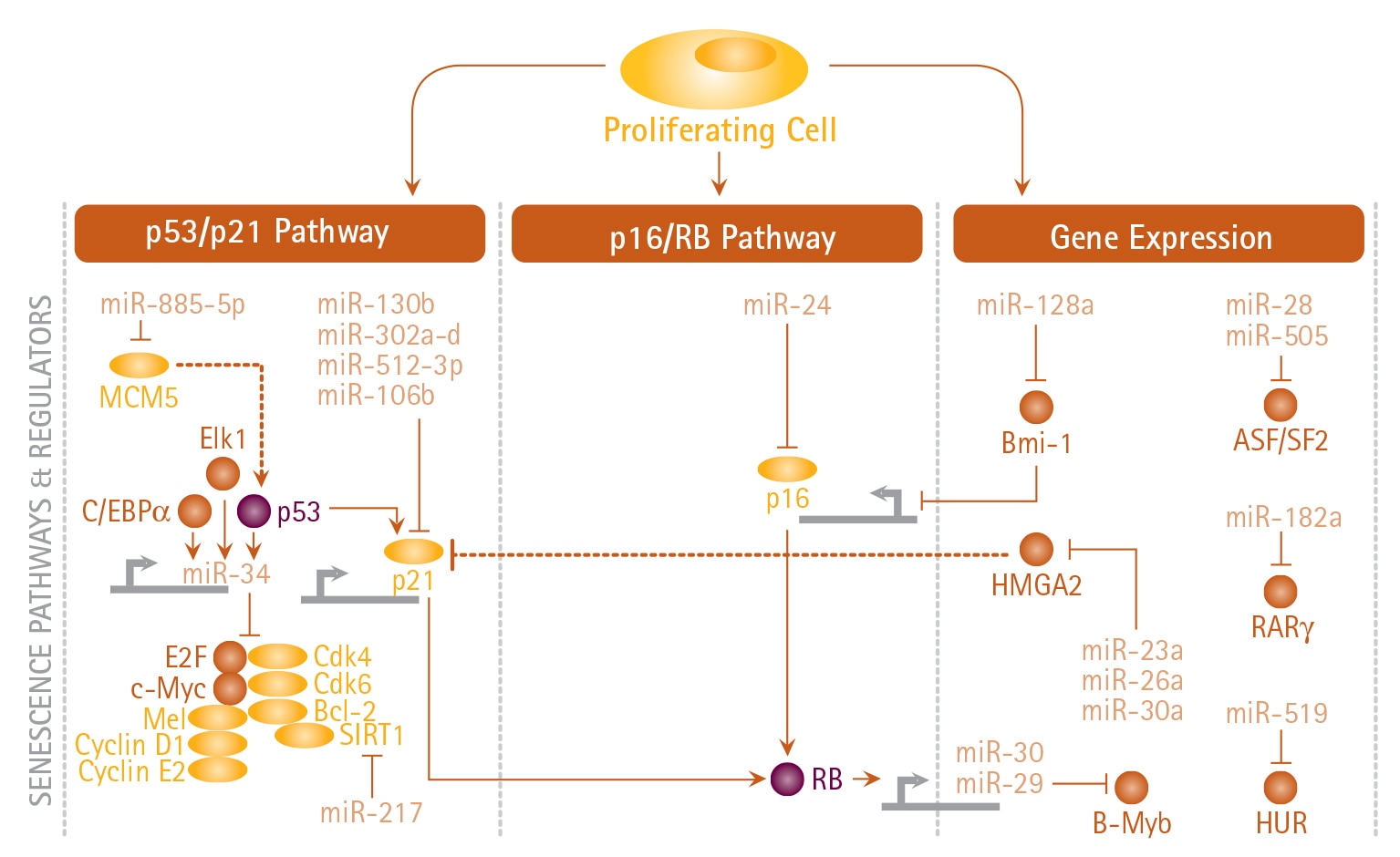 Senescence Pathways and Regulators