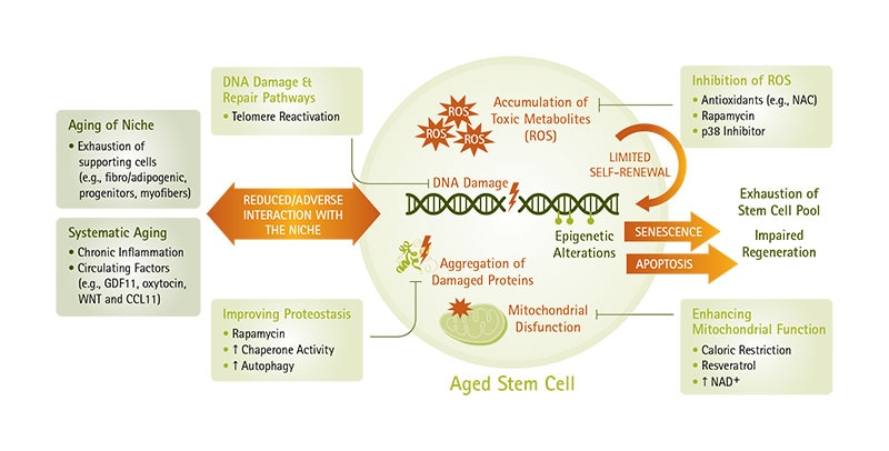 Aged Stem Cell